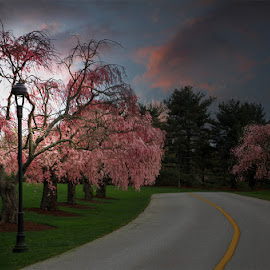 Spring Color by Ann J. Sagel - Digital Art Places ( cherry tree, ann j. sagel, trees )