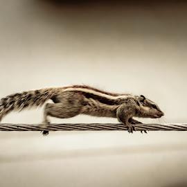 Run baby run by Akashneel Banerjee - Animals Other ( balance, rope, run, squirrel, animal )