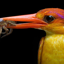 Oriental Dwarf Kingfisher  by Raj Dhage - Animals Birds