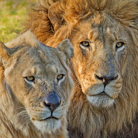 King and Queen by Louis Pretorius - Animals Lions, Tigers & Big Cats