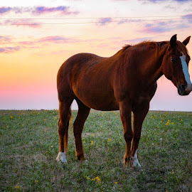 Grazing at Sunset by LJ Ethier - Animals Horses ( ranch, alberta, grazing, sunset, horse, prairie )