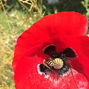 Poppy growing in my garden, I plant them for nature to enjoy.