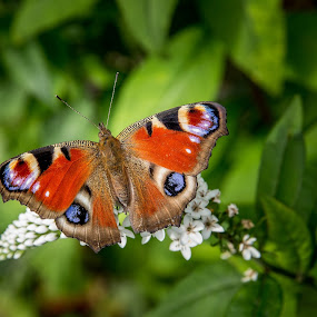 Peacock Butterfly by Kevin Standage - Animals Insects & Spiders