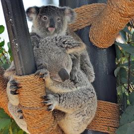 Koalas by Dawn Hoehn Hagler - Animals Other Mammals ( san diego zoo, zoo, koala, australian, koala bear, australia, baby animal )