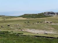 Durante el camino se observan numerosas piezas de ganado, especialmente vacas y toros