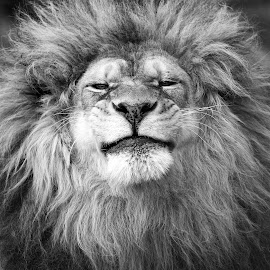 African Lion by Kathleen Otto - Black & White Animals