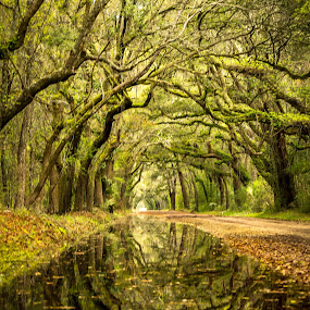 Southern Live Oaks by Serge Skiba - Landscapes Forests ( haze, reflection, basin, botany, ground, moss, marsh, backwoods, road, travel, landscape, vegetation, plantation, island, hanging, mirror, charleston, edisto, nature, tree, oak, path, dirt, deep, swamp, water, creepy, spanish, overgrown, park, lush, green, image, sc, forest, scenic, ace, woods, destination, environment, bay, carolina, outdoors, south, tunnel, mist )