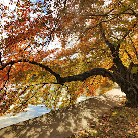 Autumn Tree in DC by Jack Nevitt - Landscapes Travel ( orange, basin, tree, color, autumn, fall, washington dc, tidal, potomac, river )