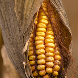 Aw, Shucks! by Dave Skorupski - Nature Up Close Gardens & Produce ( silk, peak, cornsilk, yellow, maze, corn, exposed, field, ear, expose, autumn, shucks, fall, stalk, peek, harvest, october )