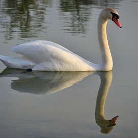 by Gordana Trošić-Kliska - Uncategorized All Uncategorized ( animals, swan, birds )