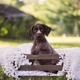 Striking a Pose by Ali Platt - Animals - Dogs Puppies ( girl, german shorthaired pointer, puppy, cute, dog, puppy portrait, athena )