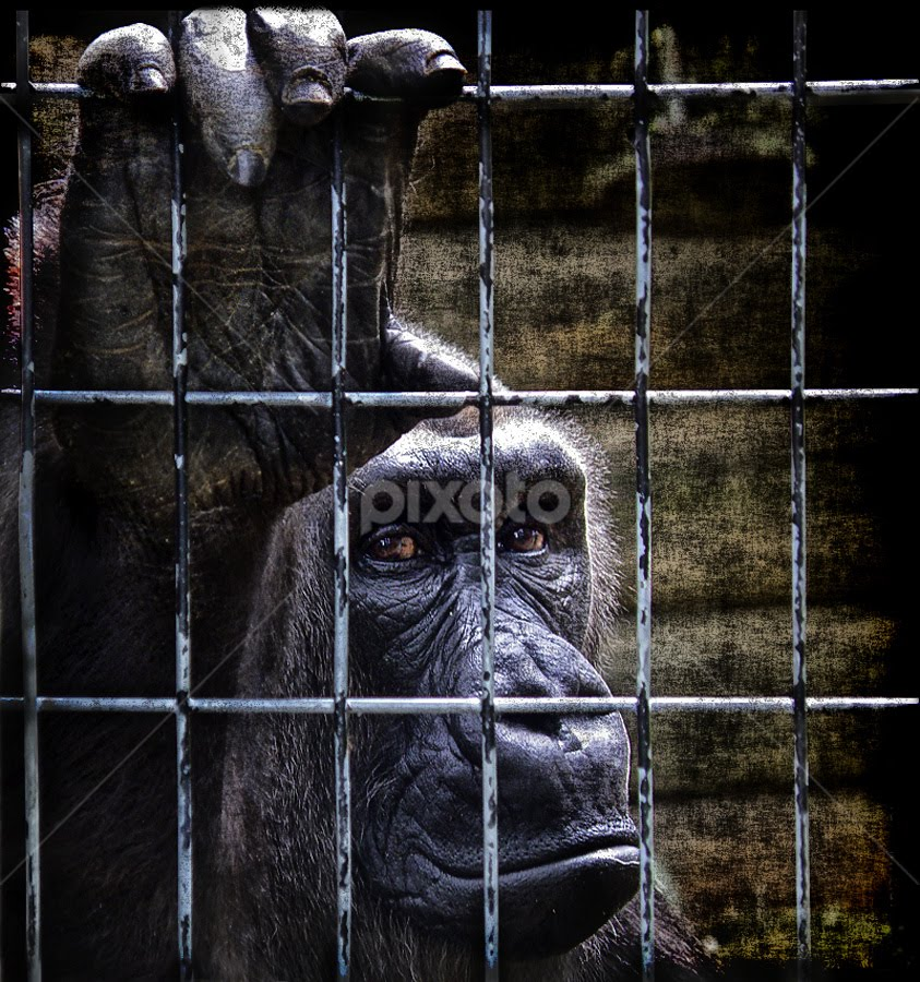 by Marianna Armata - News & Events World Events ( journalism, sad, captured, bars, gorilla, captive, heart-wrenching, marianna armata, looking, watching, caged, cage, prizon, lowland )