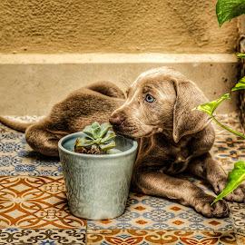 by Florent Serfati - Animals - Dogs Puppies ( #dog, #weimaraner, #beautiful, #puppy )