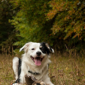 Play Break by Christy Borders - Animals - Dogs Playing ( autumn, fall, puppy, australian shepherd, dog )
