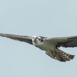 Osprey 2 by Harvey Lindenbaum - Animals Birds ( bird, nest builder, osprey )