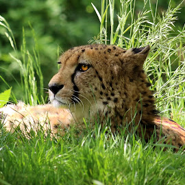 Cheetah by Claudiu Petrisor - Animals Other ( hunter, cheetah, resting, zoo, germany )