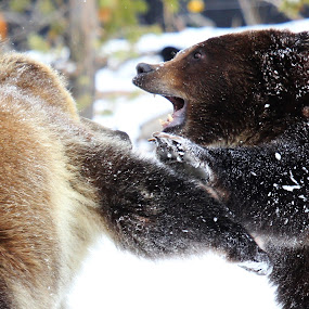 by Brandi Nichols - Animals Other ( grizzly, bear, nature, wildlife,  )