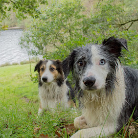 the krays by Paul Barrett - Animals - Dogs Portraits ( sheepdog, dogs, welsh, collies, posing )