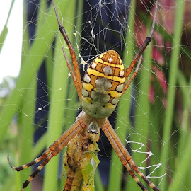 8 LEGGED HORROR by Malay Maity - Animals Insects & Spiders ( spider, spider web,  )