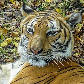Tiger by Keith Ellington - Animals Lions, Tigers & Big Cats