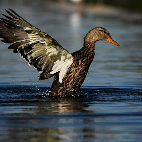 Great wings by Cristobal Garciaferro Rubio - Animals Other ( water, wings, duck )