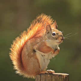 Red Squirrel by Greg VandeLeest - Animals Other Mammals ( post, red, whiskers, rodent, tail, mammal )