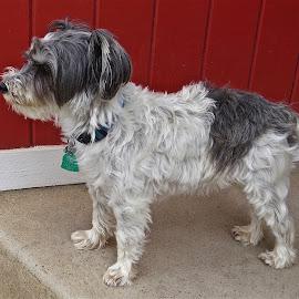 MAX by Doug Hilson - Animals - Dogs Portraits ( miniature schnauzer, schnauzer, black & white dog, dog )