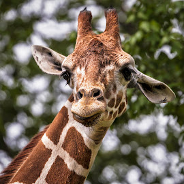 Giraffe by Carol Plummer - Animals Other Mammals