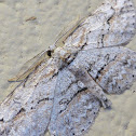 Small Engrailed Moth