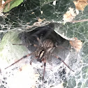 Funnel Weaver, Grass Spider