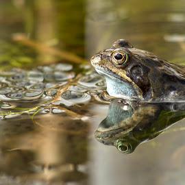 Mirror, mirror........... by Janet Matthews - Animals Amphibians (  )