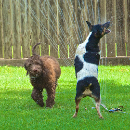 by Kathy Suttles - Animals - Dogs Playing