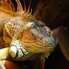 L'oeil de l'iguane by Gérard CHATENET - Animals Reptiles