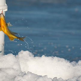 Splash  by Sondra Sarra - Animals Fish ( water, west swanton, lake champlain, cold, splash, ice, fish, ice fishing, vermont, spring )