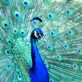 Peapod the Peacock from Harding Twp. N J by Jen Henderson - Animals Birds (  )
