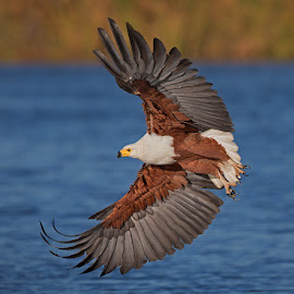 Fish Eagle flight display by Francois Retief - Animals Birds