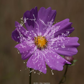 Cosmos Splash by Marc Rossmann - Nature Up Close Flowers - 2011-2013