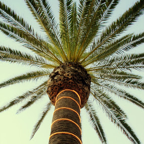 Palm Tree in Hermosa Beach CA by David Shayani - Nature Up Close Trees & Bushes