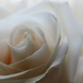 Beloved Elegance by Molly Kat - Flowers Single Flower