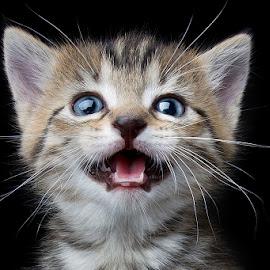 Nellie's baby by Eric Christensen - Animals - Cats Kittens ( kitten, happy, blue eyes, tabby, teeth )