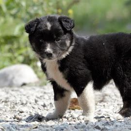 Puppies by Sudhakar Kumar - Animals - Dogs Puppies ( puppies, dogs, corbett, india, black )