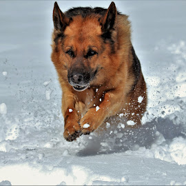 It snowed again! by Sue Delia - Animals - Dogs Playing ( playing, winter, snow, dog, german shepherd,  )