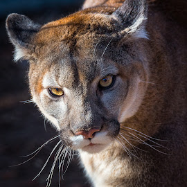 Mountain Lion by Dave Lipchen - Animals Lions, Tigers & Big Cats ( mountain lion )