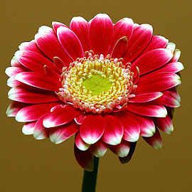 Pretty Gerbera by Chrissie Barrow - Flowers Single Flower ( stigma, red, single, stamens, petals, green, white, indoors, yellow, cut, closeup, flower )