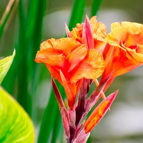 orange canna lily flower near lake by Basant Malviya - Flowers Flowers in the Wild ( canna, lilly, flower,  )