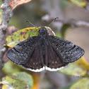 Duskywings butterfly