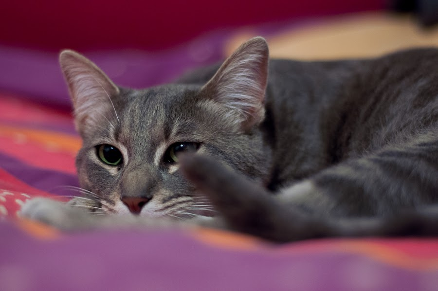Assimi by Idan Presser - Animals - Cats Portraits ( cat, purple, grey, nose, eyes )