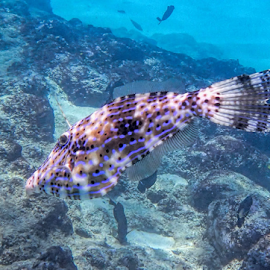 Cowfish by Steve BB - Animals Fish ( water, hogfish, blue, fish, underwater photography, cowfish )