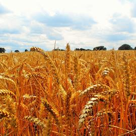 Wheat field, Berkshire by Ian Harvey-Brown - Landscapes Prairies, Meadows & Fields