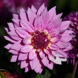 Dahlia 8646~ by Raphael RaCcoon - Flowers Single Flower